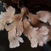 Scizophyllum Commune