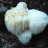 Hericium cf. erinaceus